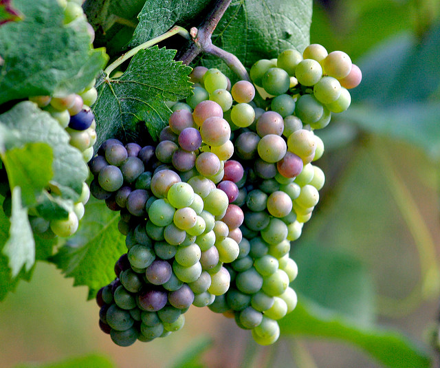Grapes | flickr / lanier67 / 216341826