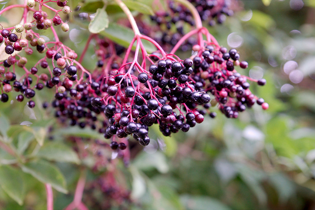 Elderberries | flickr / cobaltfish / 7932135040